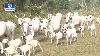 Is The Benue Anti Grazing Law The Root Cause Of Killings, Lawyers React |Law Weekly|