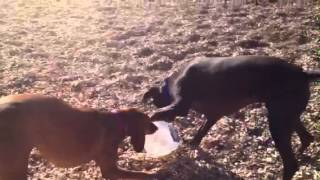 Vizsla And German Short Haired Pointer Playing With Milk Jug