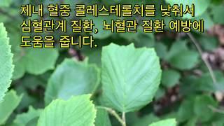 [도시속 자연인] 개암 효능, 헤이즐넛 효능