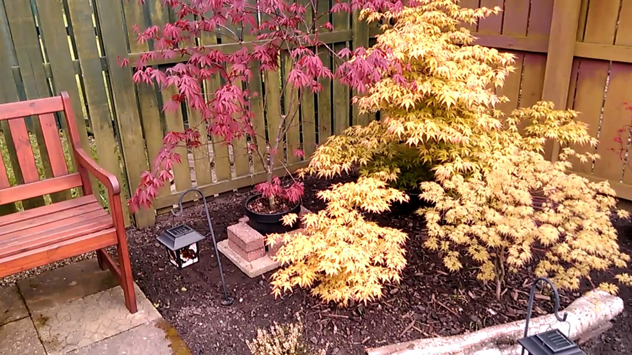 Japanese Maples Right Side Of Our Garden Youtube