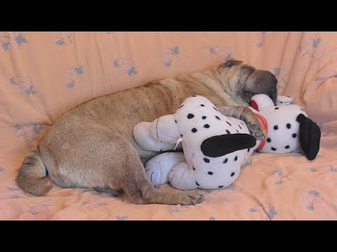 Shar Pei Sleeps with a Toy Puppy