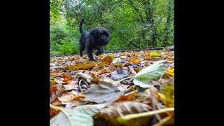 Affenpinscher Puppy exploring Duxbury Woods