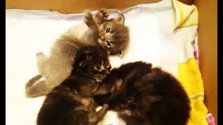 Котята мейн-кун открыли глаза