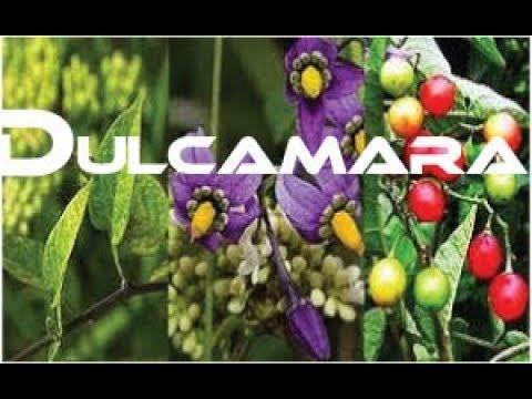Dulcamara    Dulc   Dul Homeopatic Medicine / Remedy Tips For Practitioner