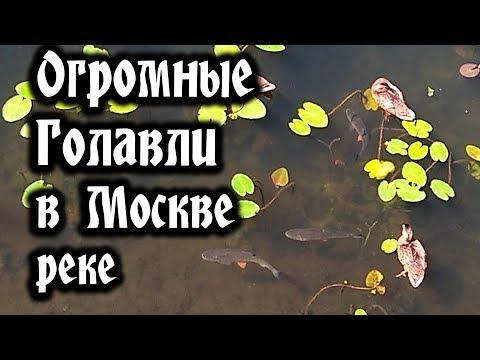 видео: Крупные Голавли в Москве реке  (Chub Fish)