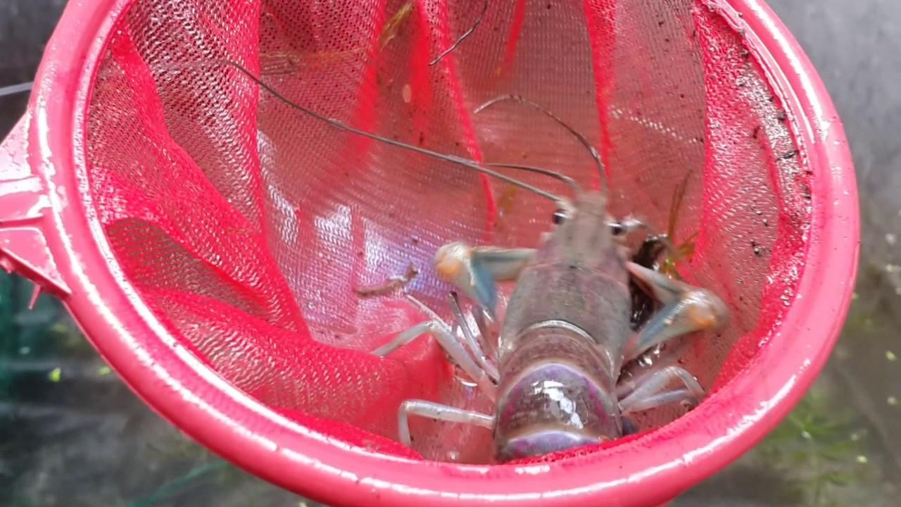สุดยอด!!!  การเลี้ยงกุ้งก้ามแดงในบ่อปูน โดยไม่ใช้ออกซิเจน-ByTheppichut