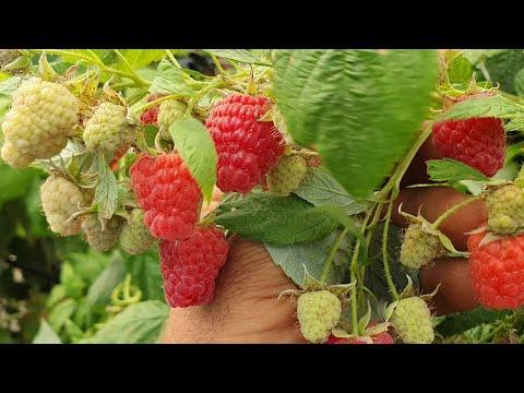 Малина которая нас удивила!!! Вкус, урожайность, качество ягоды на 5+