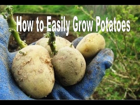 How To Successfully Grow Potatoes
