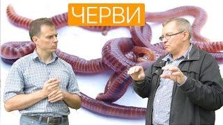 Разведение червя Старатель. Ферма изготовления биогумуса(Разведение червя для получения колоссальной финансовой выгоды.. Дождевые черви «старатель» работают..., 2016-06-15T14:20:56.000Z)