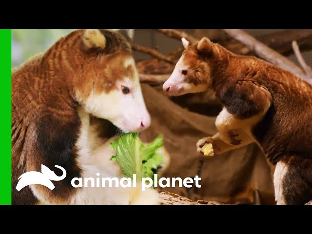 Keepers Hope These Shy Tree Kangaroos Will Have A Baby | The Zoo: San Diego