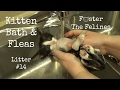 Kitten Bath With Fleas 🙀 Foster Litter #14 Featuring Cookie