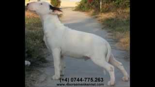 "Pui Bull Terrier De Vanzare ""denver Of The Four Horsemen"""