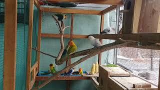 Ternak sukses lovebird (biola - parblu) sistem koloni