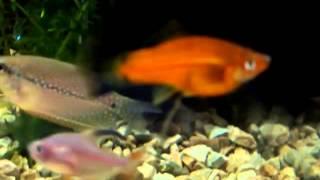 видео Меченосец Геллера – меченосец обыкновенный. - Аквариумные рыбки - Каталог статей - Каталог статей - Аквариумные рыбки