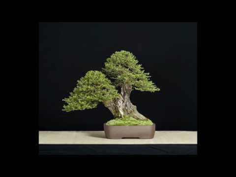33rd Bonsai Show by Redwood Empire Bonsai Society