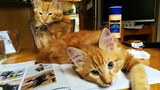 Last Clip of Fluffy Orange Kittens before Adoption | Leroi Jenkins and Jeffrey Lebowski
