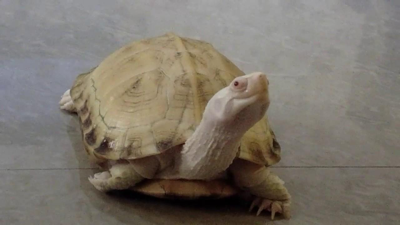 Image result for white tortoise