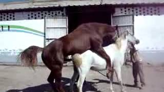 Atların çiftleşmesi 2
