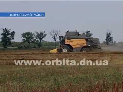 В Беловском районе выращивают гречку