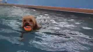 Poodle Mix Sandy, Shih Tzu Mix Max & Schnauzer Mix Sophie Swimming Under Winter Dome