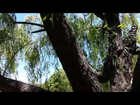 Willows Salix - weeping willow - Salcie Plangatoare HD 01