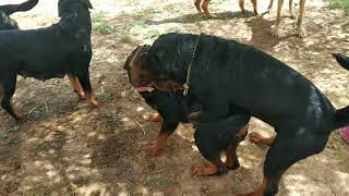 Rottweiler matting show quality puppies available jaipur Rajasthan