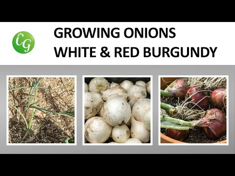 White Onions & Burgundy Red Onions - Two onion varieties to grow!