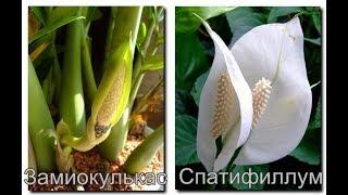 Как заставить цвести ДОЛЛАРОВОЕ ДЕРЕВО | Цветение ЗАМИОКУЛЬКАСА