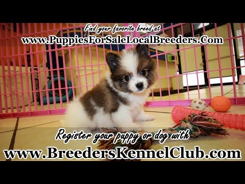 Pomeranian PUPPIES FOR SALE GEORGIA LOCAL BREEDERS