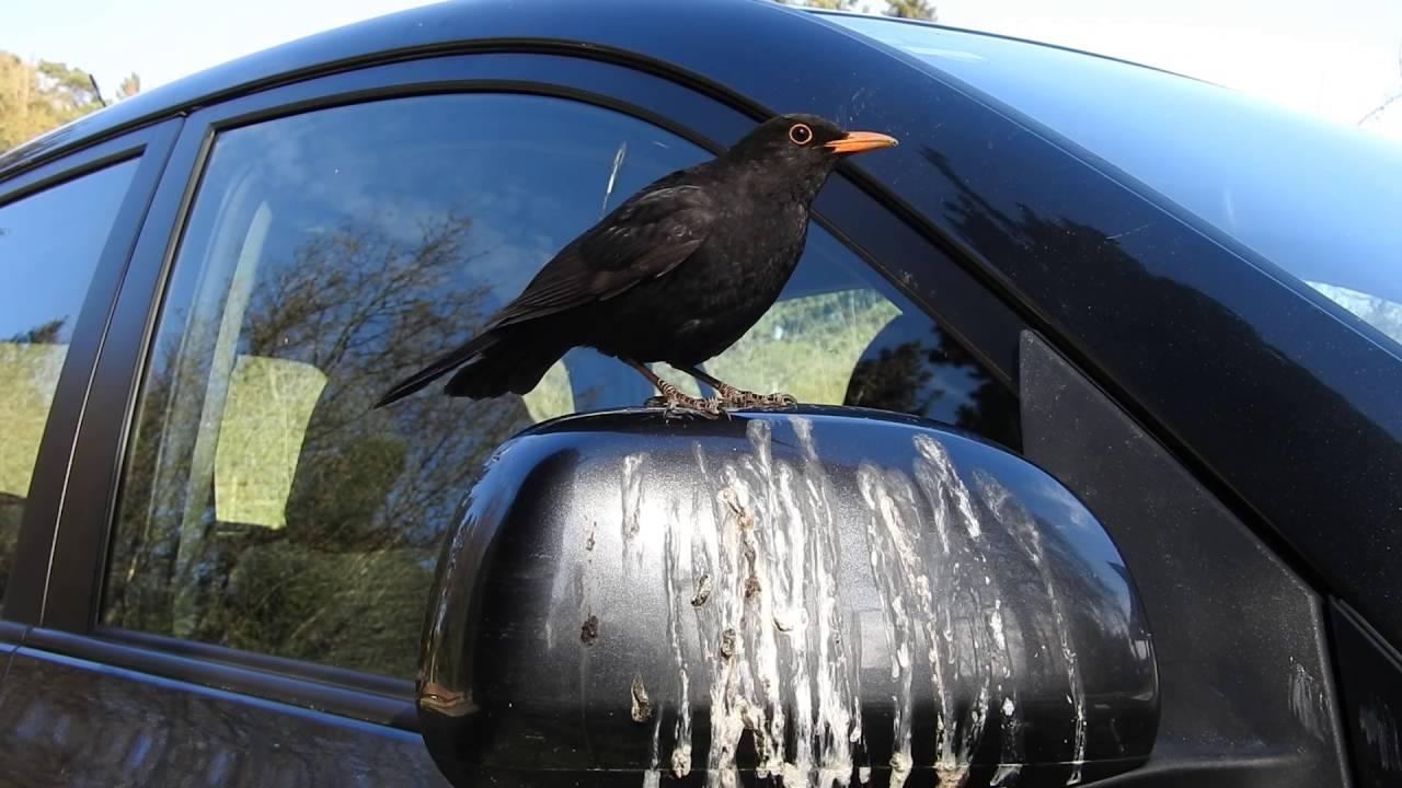 Aggro Amsel Attackiert Auto Blackbird Attacks Car Youtube
