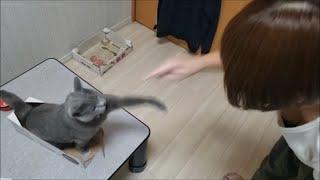 妊婦さんにも容赦なく猫パンチする狂暴灰色猫すずまろ