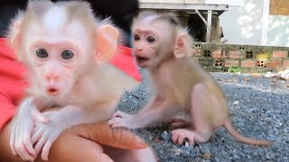 Cutest Cristina Baby Pigtail Monkey Orphan Hungry drink Milk and Learning Walk