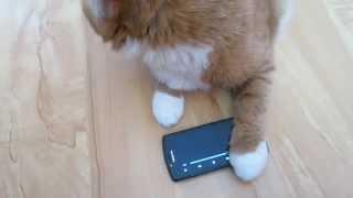 Кошка и телефон, умора
