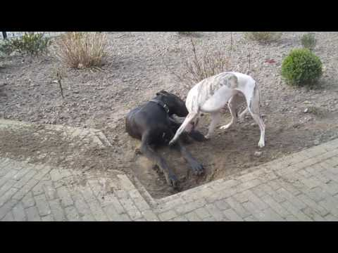 great dane playing with whippet