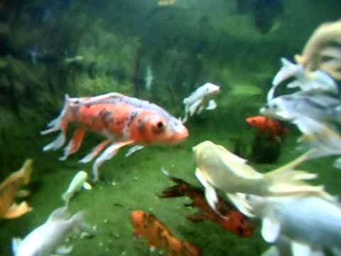 Japanese koi pond underwater camera gopro webcam youtube for Koi pond music