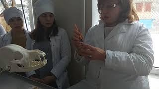 Анатомические особенности. 30.01. Строение осевого скелета хищников.