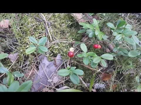 VLOG: Гуляем в лесу. Лесные ягоды: Черемуха, барбарис, и много много мухоморов