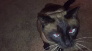 Только кот Бася знает, как получить пищу  =^..^= СИАМСКИЕ КОШКИ