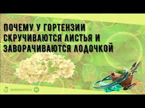 Почему у гортензии скручиваются листья и заворачиваются лодочкой