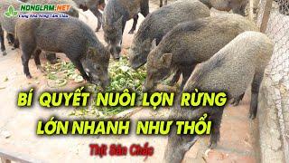 Kinh nghiệm nuôi Lợn Rừng Lớn nhąnh như Thổi, Thịt Săn Chắc   Nuôi Heo Rừng Làm Giàu