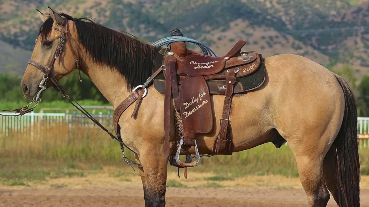 buckskin heel horse 5 year old aqha gelding 15 1 hands tall youtube