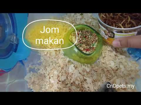 Bengy Meal Worm for Hamster Malaysia