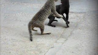 Crazy Cat Fight!!!