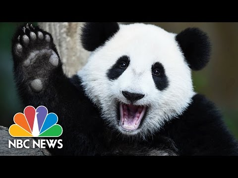 5 Fun Facts About Pandas For National Panda Day | NBC News - YouTube