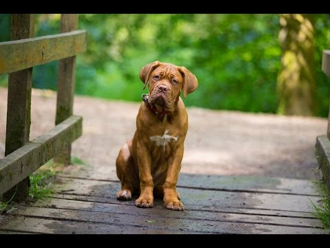 Mason - Dogue De Bordeaux Puppy - 4 Week Residential Dog Training at Adolescent Dogs