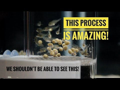 A BEAUTIFUL PROCESS! | From Cichlid EGGS To Cichlid FISH In 24 Days!