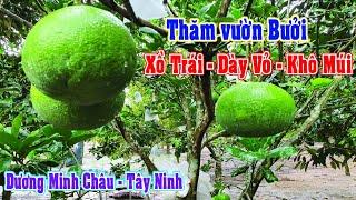 Tư Vấn Vườn Bưởi Da Xanh Sồ Trái, Dày Vỏ, Khô Múi ở Dương Minh Châu | Nông Nghiệp Xanh