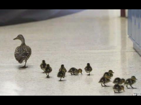 Lucky Ducks Attend School | ABC News