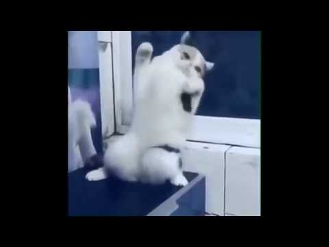 Cat dancing on Despacito - funny cats