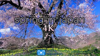 SPRING IN JAPAN 4K Ambient Aerial Nature Film + Piano Relaxation Music - Cherry Blossoms UHD